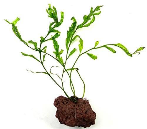Aquarium Pflanze und Feucht-Terrarium Pflanzen 3463 Süss-wasser Pflanze bolbitis heudelotii - Ableger auf Lavastein