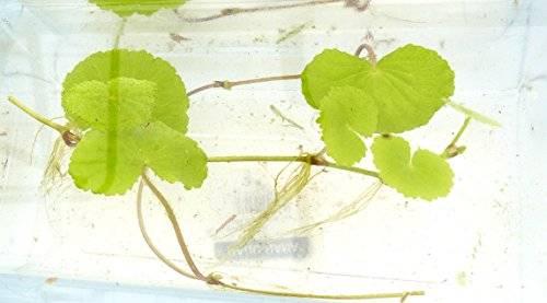 3Stk echte Aquarium süsswasser Pflanzen - 3x brasilianischer Wassernabel - Hydrocotyle leucocephala