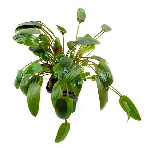 Pflanze Aquarium süss-wasser Pflanzen 2639 Cryptocoryne wendtii brown