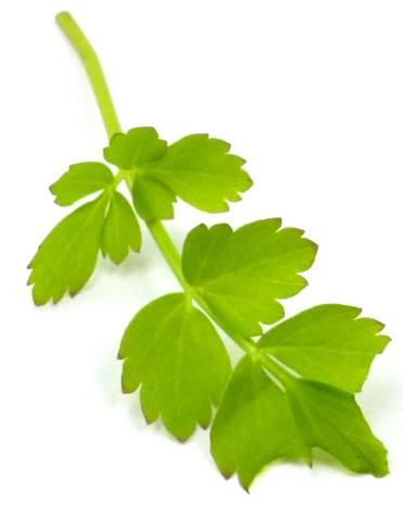 Pflanzen grün Wasserfenchel Wasserpflanze Teich-Pflanzen Speise-Pflanze Sellerie ähnlich 5026