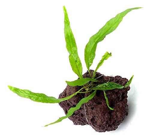 Aquarium Pflanze Wasserpflanzen 1849 echte Aquarium und Feucht-Terrarium Süsswasser Pflanze Microsorum pteropus mini Ableger einer kleiner bleibenden Art auf Lavastein