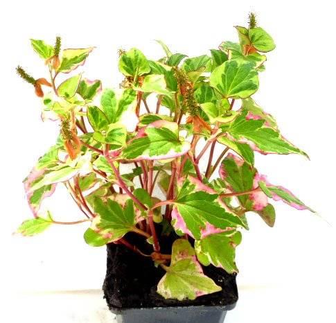 Pflanze Zimmer Pflanzen Buntblatt Sumpfpflanze Garten Pflanze Balkon Pflanze - Houttuynia cordata
