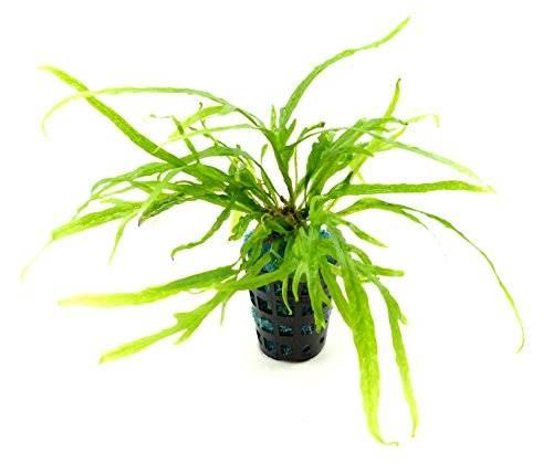 Pflanze 2289 Aquarium Pflanzen suesswasser Microsorum pteropus trident