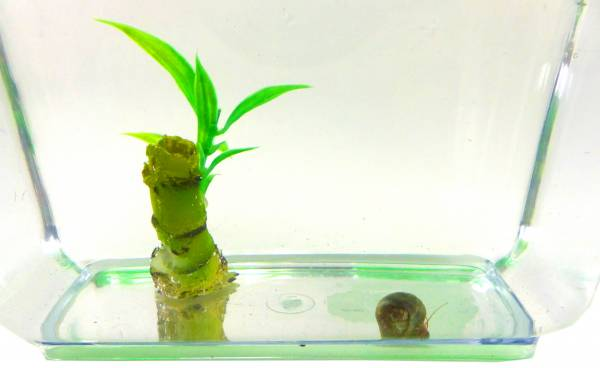 Aquarium Set Posthorn Wasser Schnecke blau mit Pflanze und Aquarium Kinder Erwachsene Aqua Snail Plant Einsteiger Starter Set (1Stk blau) 4797