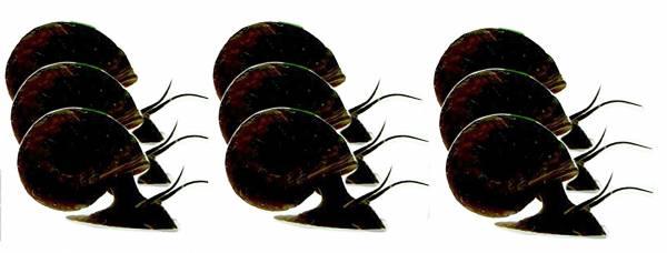 2x Posthorn Schnecken Set Laub Fresser Algen Vernichter 2x 9Stk braun/schwarz 0,5-2cm