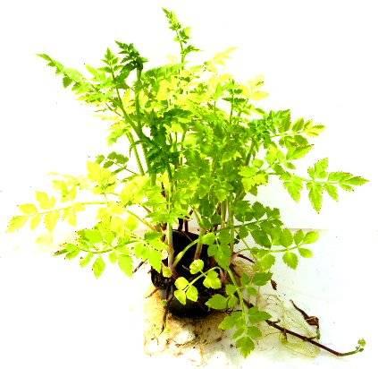 Pflanze 1434 Wasser Kresse Teich Kresse Speise Pflanze Garten Pflanze Balkon Pflanze bis Sumpfpflanze - Rorippa / nasturium amphibia