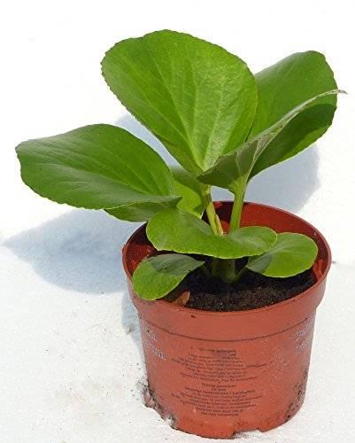 Bergenie 3441 Pflanze Teichpflanzen Rand-Pdlanze Wasserpflanze absolute Bereicherung für den heimischen Garten Bergenia Cordifolia
