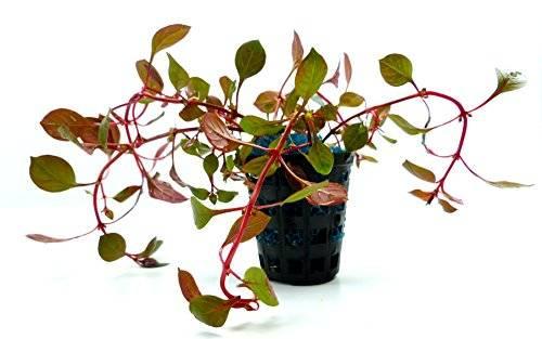 echte Aquarium süsswasser Pflanze Ludwigia repens rubin
