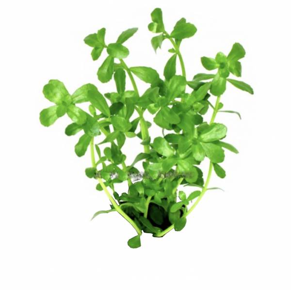 Aquarium Terrarium Pflanze Wasserpflanzen Bacopa monieri Kleines Fettblatt