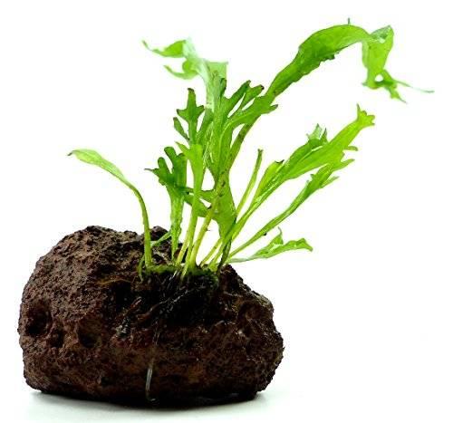 Aquarium Pflanze Wasserpflanzen und Feucht-Terrarium Süsswasser Pflanze Microsorum pteropus - krauser Farn Ableger auf Lavastein